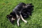 Хельхаус Лавиния со щенками. Помет Г возрастом 7 суток.