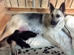 Лавбрил Ермиона со щенками