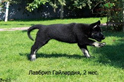 Щенок ВЕО Лавбрил Гайлардия (2 мес.). Догонялки