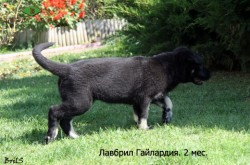 Щенок ВЕО Лавбрил Гайлардия (2 мес.). Крадёмся...