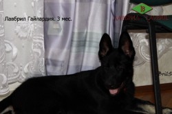 Щенок ВЕО Лавбрил Гайлардия, возраст 3 месяца.