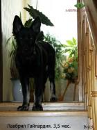 Щенок ВЕО Лавбрил Гайлардия, возраст 3,5 мес.