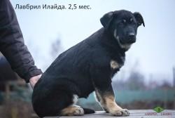 Щенок ВЕО Лавбрил Илайда, 2,5 мес.