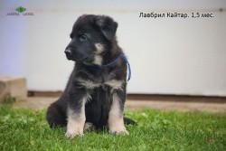 Щенок ВЕО Лавбрил Кайтар, 1,5 мес