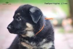 Щенок ВЕО Лавбрил Кортэз, возр. 1,5 мес