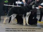 Щенок ВЕО Лавбрил Веринея (4,5 мес) на  региональной выставке собак всех пород. BEST. Могилев, 25.01.14г.