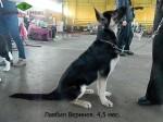 Щенок ВЕО Лавбрил Веринея (4,5 мес) на  региональной выставке собак всех пород. Могилев, 25.01.14г.