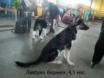 Щенок ВЕО Лавбрил Веринея (4,5 мес) на  региональной выставке собак всех пород. Могилев. 25.01.14г.