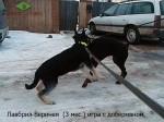 Щенок ВЕО Лавбрил Веринея, возраст 3 мес. Игра с доберманом.