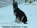 Щенок ВЕО Лавбрил Веринея, возраст 3 мес. В снегу.