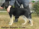 Щенок ВЕО Лавбрил Веринея,  возраст 3,5 месяца.