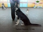 Щенок ВЕО Лавбрил Веринея (возраст 4,5 мес) на  региональной выставке собак всех пород. Могилев, 25.01.14г.