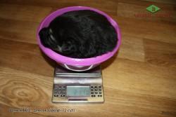 Щенок ВЕО, девочка в 12 сут., вес 2110г.