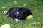 Щенок ВЕО. Возраст  21 сут. Девочка, бирюзовая нить. Уснула под яблоней.