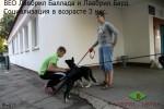 Социализация щенков ВЕО Лавбрил Барда и Лавбрил Баллады в возрасте 3 мес. Общаемся с прохожими.
