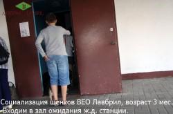 Социализация щенков ВЕО Лавбрил Барда и Лавбрил Баллады в возрасте 3 мес. Смело входят в незнакомую дверь.