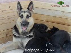 ВЕО Добрада со щенками помета В.