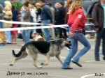ВЕО Даяна (возраст 21 мес.) на Региональной выставке собак всех пород. Дзержинск. 23.06.12г.
