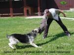 ВЕО Даяна (возраст 21 месяц). Обучение работе по охране территории, дрессировщик А.Шкляев.