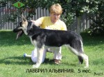 Лавбрил Альвиния (5 месяцев)
