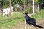 ВЕО Хельхаус Лавиния и козы. Познакомиться бы поближе, да забор не позволяет...