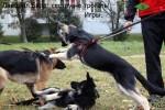 Игры. Щенки ВЕО Лавбрил Баллада, Лавбрил Бард (4,5 мес) и НО (10 мес).