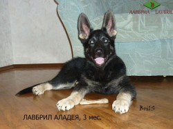 ЛАВБРИЛ АЛАДЕЯ,  3 мес