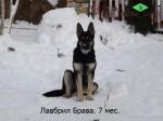 Щенок ВЕО Лавбрил Брава. Возраст 7 месяцев. Сидя на снегу.