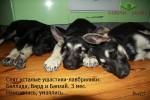 Щенки ВЕО.Лавбрилики - Баллада, Бард и Банзай (3 мес.). Спят усталые ушастики...