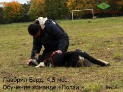 Лавбрил Бард 4,5 мес. с дрессировщиком А.Шкляевым. Обучение команде Ползи!