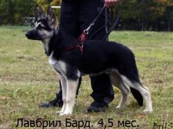 Лавбрил Бард. возраст 4, 5 мес. Фото Брилевской С.И. Для каталога