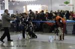 Щенок ВЕО Лавбрил Берегиня на Интернациональной выставке собак Россия 2013. 1БП, Лучший Беби