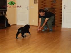 Тестирование щенка ВЕО возрастом 7 недель. Лавбрил Баллада.