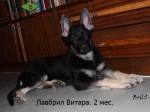 Щенок ВЕО Лавбрил Витара. Возраст 2 месяца.