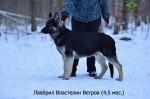 Щенок ВЕО Властелин Ветров, возраст 4,5 месяцев.