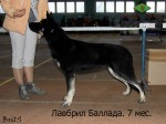 Щенок ВЕО Лавбрил Баллада, возраст 7 мес.