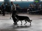 ВЕО Лавбрил Альвиния (21 мес.) на Международной выставке собак всех пород, ЦАЦИБ. Минск. 23.11.13г.
