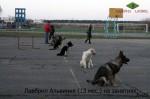 ВЕО Лавбрил Альвиния в группе собак на дрессировке. Возраст 13 месяцев.