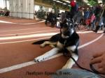 Щенок ВЕО Лавбрил Брава (возраст 8 мес.) на выставке собак. Каунас, 25.01.14. Ждём ринга.