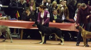 Щенок ВЕО Лавбрил Брава (возраст 8 мес.) на выставке собак. Каунас. 25.01.14. BEST щенков.