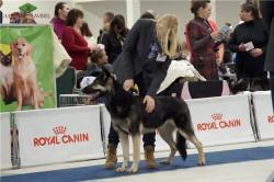 ВЕО Лавбрил Аладея на Всероссийской выставке собак всех пород. 18.01.14. г.С-Перербург.
