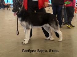 Щенок ВЕО Лавбрил Варта (возраст 8 мес) на Респ. Выставке собак всех пород. Гомель.11.05.14.