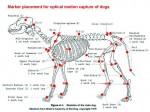 Скелет собаки из анатомии Миллера. 1979год.