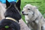 ВЕО Хельхаус Лавиния (4 года) и молодая волчица Зая. Знакомство. Эмоции.