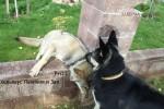 ВЕО Хельхаус Лавиния (4 года) и волчонок Зая,  который очень хотел познакомиться.
