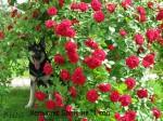 ВЕО Хельхаус Лавиния в розах. Возраст 1 год.