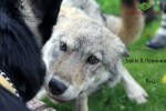 Взгляд волчицы на мою ВЕО Хельхаус Лавинию. Знакомились