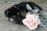 Щенок ВЕО (30 сут.), мальчик желтая нить. С розой.