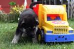 Щенок ВЕО (30 сут.), мальчик желтая нить. У авто.