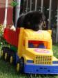 Щенок ВЕО (36 сут.). Мальчик бежевая нить. Да, это мой размер авто!.